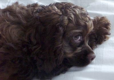 Coco puppy