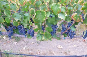 Cabernet Grapes at the Hanna Winery